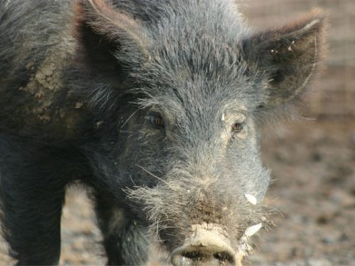 Australian Wild Pig Drinks 18 Beers, Gets in Fight with Cow