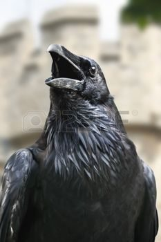 Rome, attacked by a crow: ends up in hospital