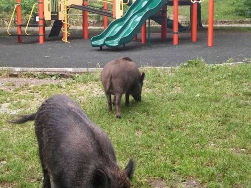 Rome invaded by wild boars: it's an open-air zoo