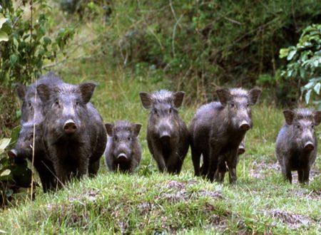 Iraq, three ISIS militiamen killed by a bunch of wild boars