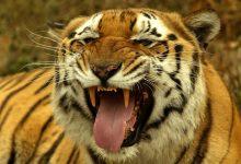 International Tiger Day 2017