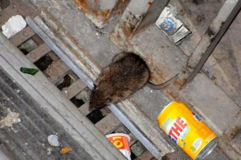 Paris: animal rights lobby signing to save rats